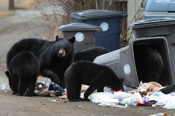 black bearrs eating out of garbage cans